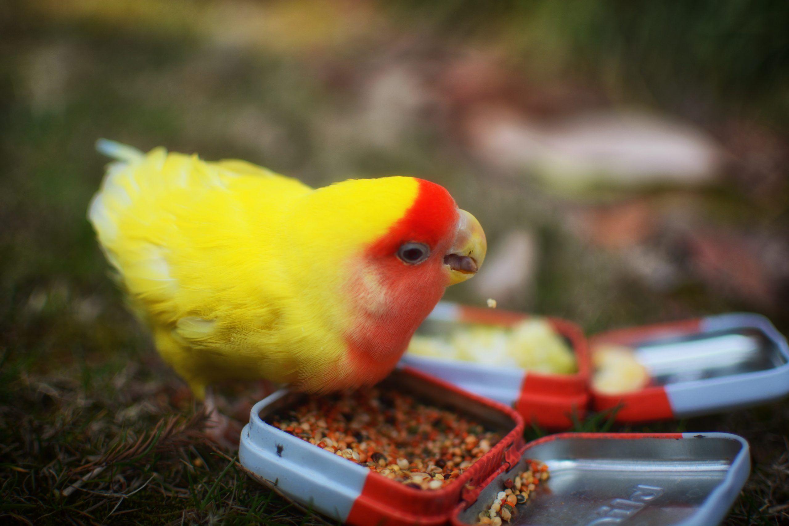 alimento para aves ornamentales